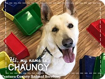 German Shepherd Dog Dog for adoption in Camarillo, California - *CHAUNCEY