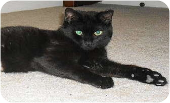 Domestic Shorthair Cat for adoption in Warminster, Pennsylvania - Bear