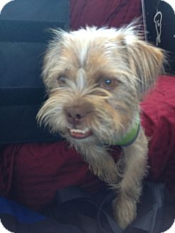 Norfolk Terrier Mix Dog for adoption in Las Vegas, Nevada - Mr Muggs