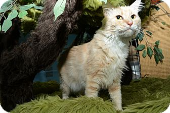 Domestic Mediumhair Cat for adoption in New York, New York - Milo