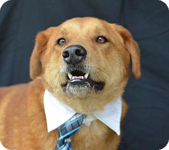 Retriever (Unknown Type)/Labrador Retriever Mix Dog for adoption in Plano, Texas - Reno