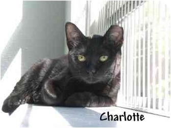 Domestic Shorthair Cat for adoption in AUSTIN, Texas - CHARLOTTE