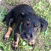 Adopt A Pet :: Bogart - Somers, CT