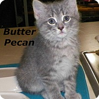 Adopt A Pet :: Butter Pecan - Dover, OH