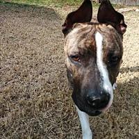 American Pit Bull Terrier Mix Dog for adoption in Manhattan, New York - Pepsi