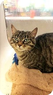 Domestic Shorthair Cat for adoption in Fort Smith, Arkansas - Jodie