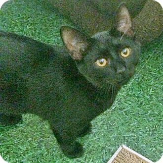 Domestic Shorthair Cat for adoption in Highland, Indiana - OZZY
