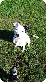 Pit Bull Terrier Mix Dog for adoption in Indianola, Iowa - Dingo
