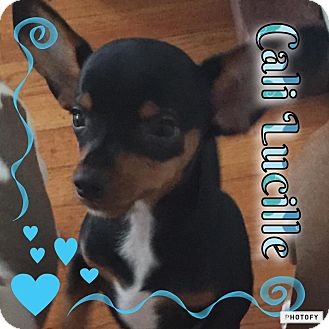 Miniature Pinscher/Beagle Mix Puppy for adoption in Enid, Oklahoma - Cali