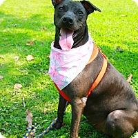 American Bulldog/Labrador Retriever Mix Dog for adoption in Castro Valley, California - Freya