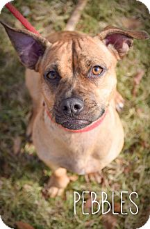 Pug/Dachshund Mix Dog for adoption in DFW, Texas - Pebbles