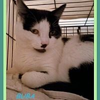 Adopt A Pet :: Buba - Berkeley Springs, WV