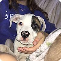 Adopt A Pet :: Felix - PARSIPPANY, NJ