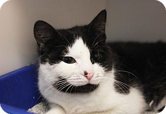 Domestic Shorthair Cat for adoption in Redwood City, California - Payton