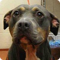 Pit Bull Terrier Mix Dog for adoption in Missoula, Montana - ELLIE