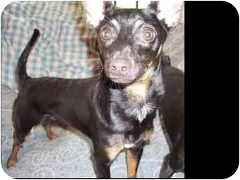 Miniature Pinscher Dog for adoption in Phoenix, Arizona - Greig