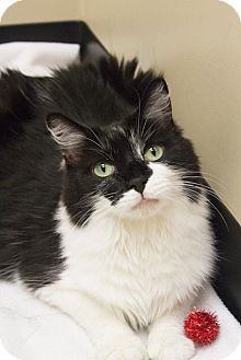 Maine Coon Cat for adoption in Chicago, Illinois - Muffin