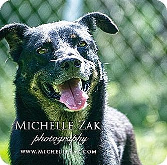Rottweiler/Chow Chow Mix Dog for adoption in Miami, Florida - Largo