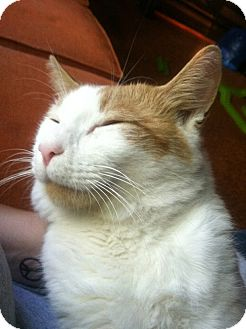 Domestic Shorthair Cat for adoption in Southington, Connecticut - Tigger