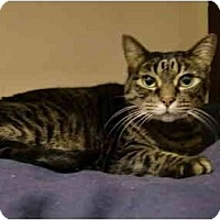 Adopt A Pet :: Tabby - Washington Terrace, UT
