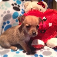Adopt A Pet :: Baby Zain - Marlton, NJ