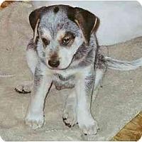 Adopt A Pet :: Bert - Albany, NY
