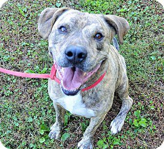 Plott Hound/Boxer Mix Dog for adoption in Brattleboro, Vermont - Brix