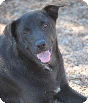 Labrador Retriever Mix Dog for adoption in Jewett City, Connecticut - Dusk