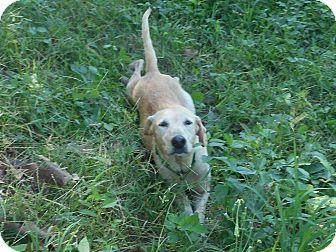 Labrador Retriever Dog for adoption in Los Angeles, California - Leigha