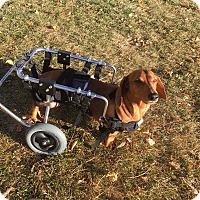Adopt A Pet :: Scooter - Louisville, CO
