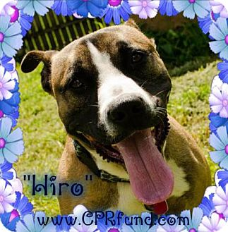 German Shepherd Dog/Bull Terrier Mix Dog for adoption in Lowell, Indiana - Hiro
