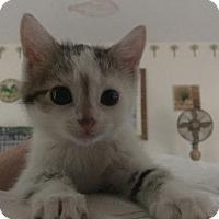 Adopt A Pet :: Mork (Orkan Litter) - Baltimore, MD