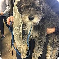 Adopt A Pet :: Henry Bear - Yucaipa, CA