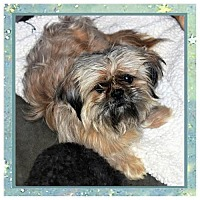 Adopt A Pet :: Shih Tzu male X - San Jacinto, CA