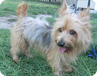 Silky Terrier/Yorkie, Yorkshire Terrier Mix Dog for adoption in Jacksonville, Florida - Banks