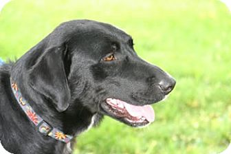 Labrador Retriever Mix Dog for adoption in Avon, New York - Tate