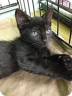 American Shorthair Kitten for adoption in Jackson, Mississippi - Lois
