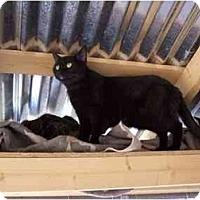 Domestic Shorthair Cat for adoption in Winnsboro, South Carolina - Eve