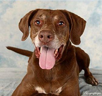 Labrador Retriever/Pointer Mix Dog for adoption in Las Vegas, Nevada - Lexie