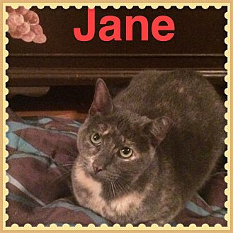 American Shorthair Cat for adoption in Brentwood, New York - Jane