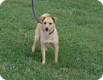 Golden Retriever/Shiba Inu Mix Dog for adoption in Ashburn, Virginia - Norma Jean