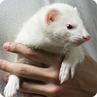 Ferret for adoption in Balch Springs, Texas - Apollo