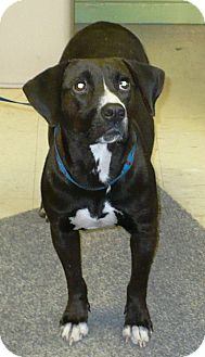 Labrador Retriever Mix Dog for adoption in Eastpoint, Florida - Darlene