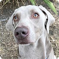 Adopt A Pet :: Luke - Sun Valley, CA