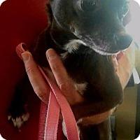 Adopt A Pet :: Bootsy - Freeport, NY