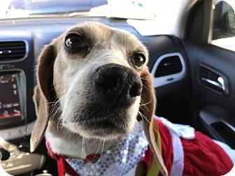 Beagle Dog for adoption in Orlando, Florida - Holly