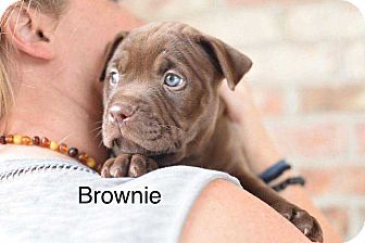 American Pit Bull Terrier Mix Dog for adoption in Summerville, South Carolina - Brownie