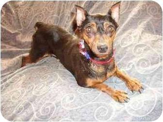 Miniature Pinscher Dog for adoption in Phoenix, Arizona - Fendi