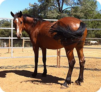 Quarterhorse Mix for adoption in El Dorado Hills, California - Thea