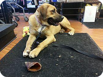 Boxer/Shepherd (Unknown Type) Mix Dog for adoption in Northumberland, Ontario - farra
